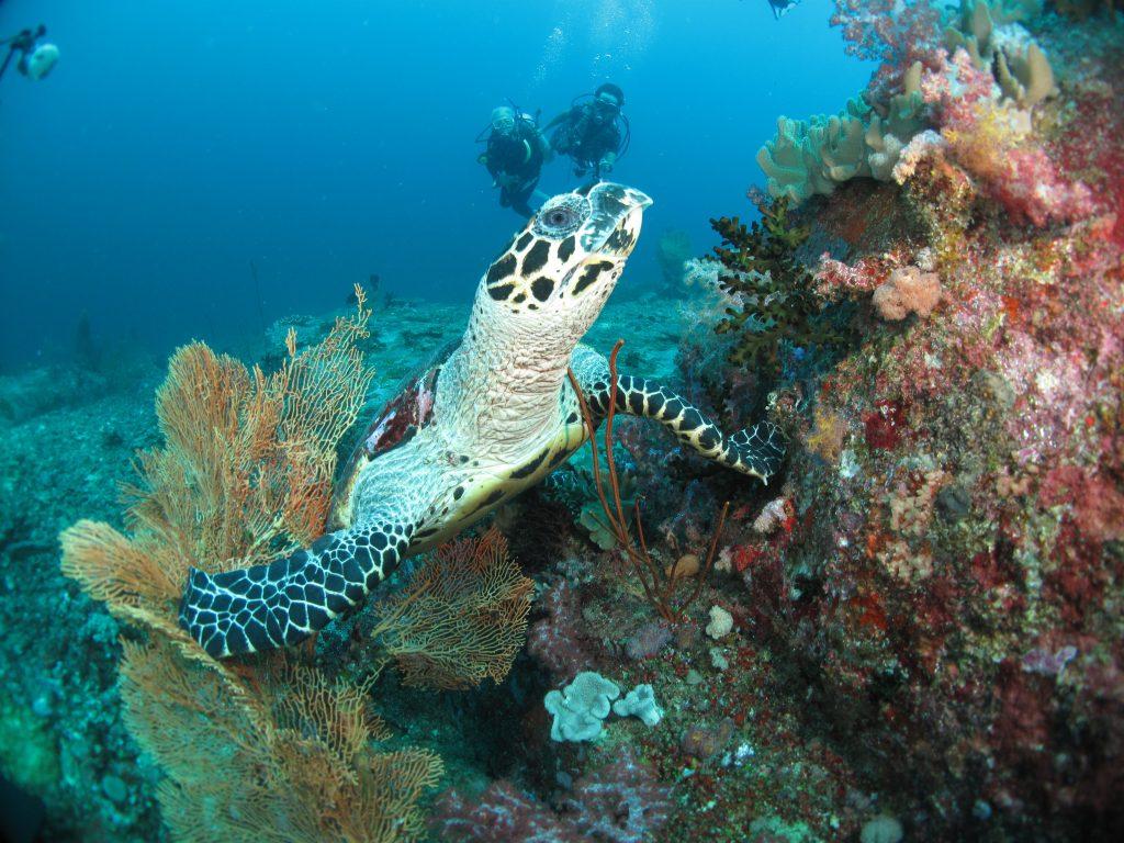 ピピ島ではウミガメと出会えるかも!